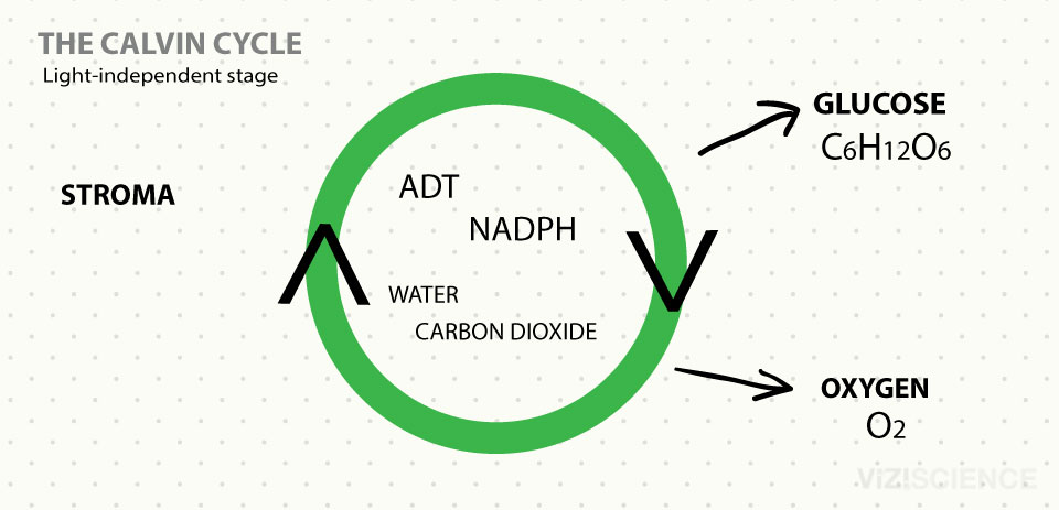 Photosynthesis - The Calvin Cycle - Light-independent